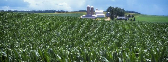 corn-fields